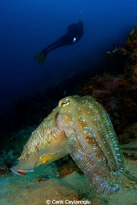 &quot;Super model&quot; Giant cuttle fish 